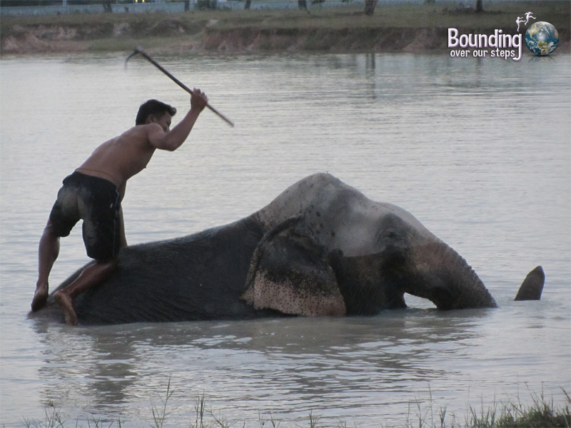 A mahout about to smack his bullhook on the top of his elephant's head at the Surin Elephant Roundup