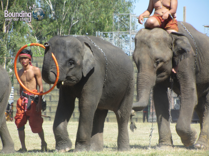Elephants forced to perform hula hoop tricks at the Surin Elephant Roundup