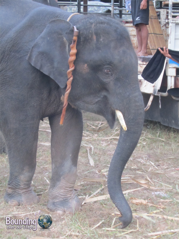 A scared elephant with a bullhook hanging from his ear at the Surin Elephant Roundup